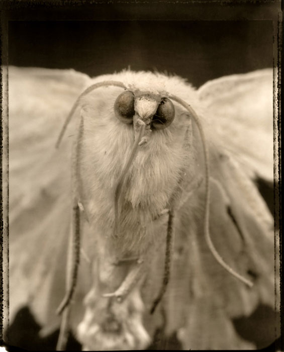 "B.A. Bosaiya, ""Under the Softest Fur Lies the Sharpest of Bones"", 2005, archival Giclee"