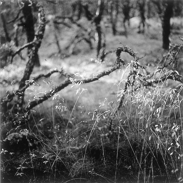 "Eric Lindbloom, ""PInewoods #11, N. Truro, Ma"", from ""Pitch Pine"", 2001, gelatin silver print."