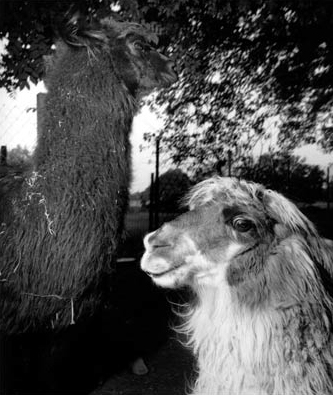 "Larry Fink, ""Llamas"", 1993, Gelatin Silver Print. Courtesy Yancey Richardson Gallery, NYC."
