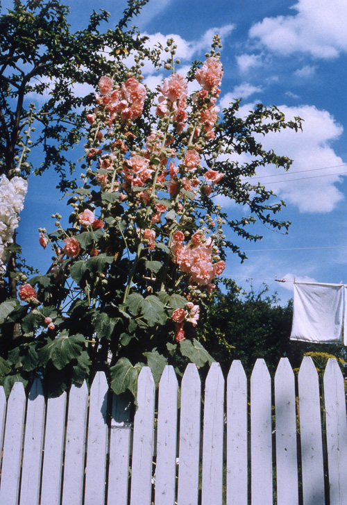 "Marion Faller, ""Hollyhocks & Laundry, Wallington, NJ"", 1996, 16 x 20"", color print"