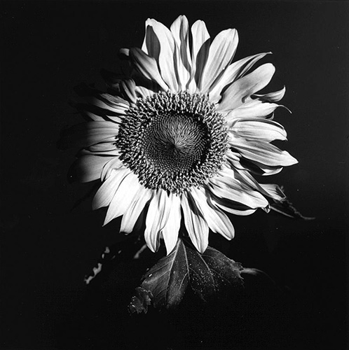 Nana Watanabe, Sunflower #1, #2, #3, 1994, from the series Sunflower, toned silver print